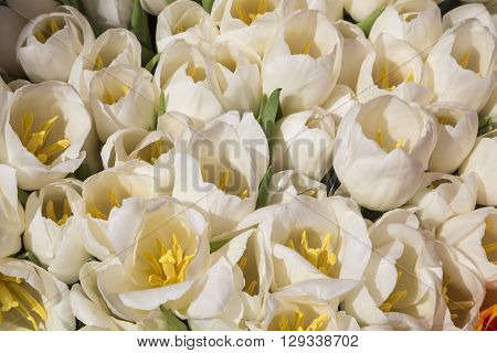 White tulips bunches on display at  flower market