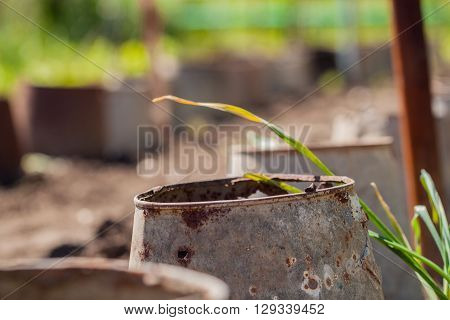 Rusty leaky bucket protect young seedlings in the village garden