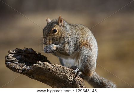 Tree squirrel that seems to be posing for the camera