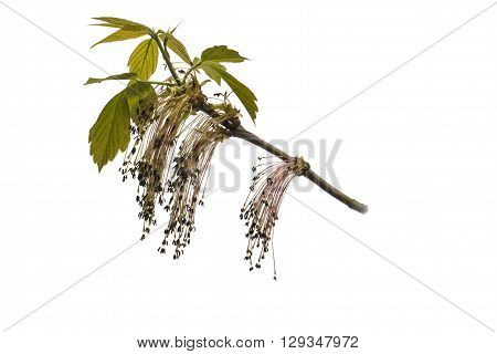 The branch of a flowering ash. Object on a white background.