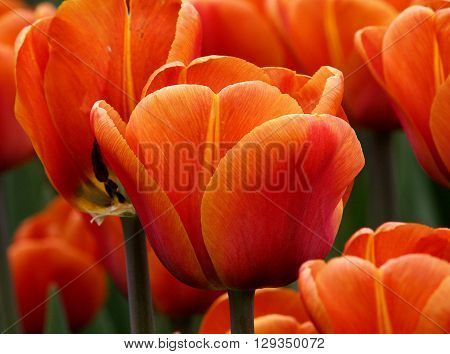 Spring tulips.  Lodz, Poland - April 30, 2016 Red tulips blooming in spring in the botanical garden in Lodz.