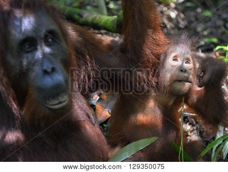 A Female Of The Orangutan With A Cub In A Native Habitat. Bornean Orangutan (pongo Pygmaeus Wurmmbii