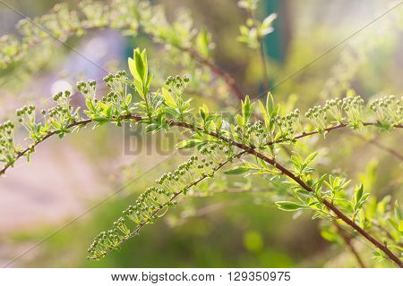 The spirea branches with buds lit with the sun. The close up small depth of sharpness is a lot of small buds an indistinct light green background