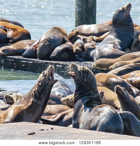 Group of Harbour Seals at Fisherman's Wharf in San Francisco