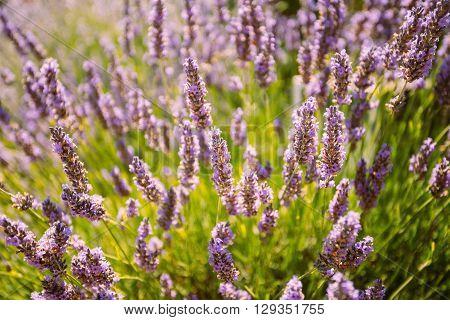 The Lavender Flowers. Summer Season. Close Up.
