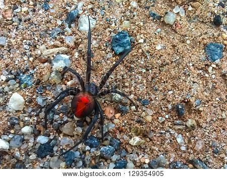 Deadly redback spider in Australia with long legs. Red and black female, walking on gravel