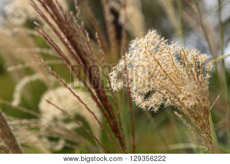 Selective focus of flower heads of ornamental grass, Miscanthus sinensis, growing in the garden in Australia with blurred background