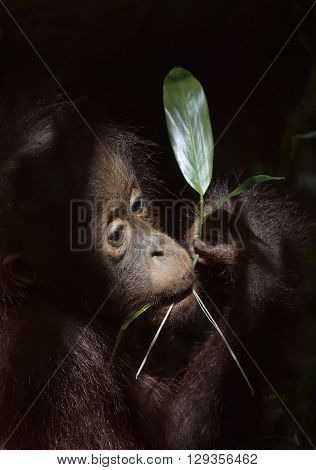 The Close Up Portrait Of Cub F Of The Orangutan With Green Leaf  On The Dark Background
