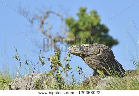 Portrait Of The Komodo Dragon ( Varanus Komodoensis ) Is The Biggest Living Lizard In The World.
