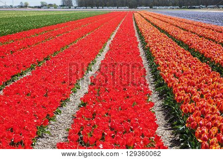 tulip fields in Lisse Netherlands near the famous Keukenhof