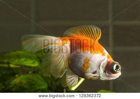 Aquarium goldfish with big eyes is swimming in the water with green plants behind