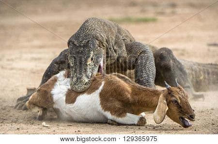 Attack Of A Komodo Dragon. The Komodo Dragon ( Varanus Komodoensis ) .