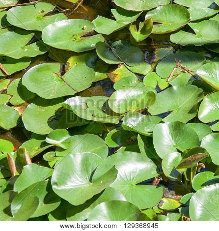 Closeup of surface of garden pond filled with large green lily pad leaves.