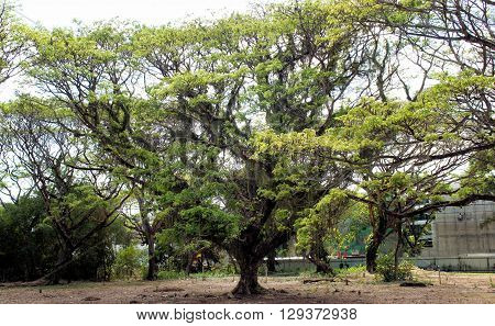 A huge tropical tree in the Philippines. Palawan Island.