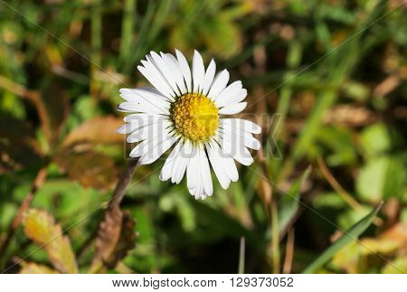 a beautiful white and yellow marguerite on grass