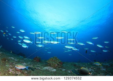 School of Fusilier fish on coral reef in sea