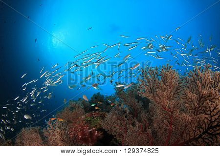 Sardines fish on coral reef in ocean
