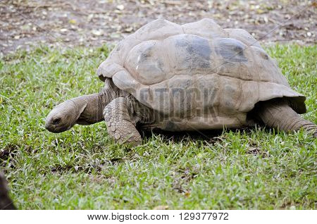 the giant tortoise is walking across a lawn ** Note: Visible grain at 100%, best at smaller sizes