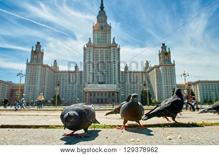 Funny pecking pigeons on asphalt  background is Lomonosov Moscow State University