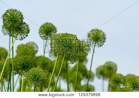 Alliums, giant ornamental onions on sky background