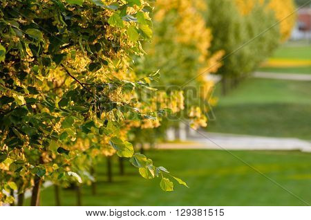 focus is on Branch of linden flowers and park with natural blur