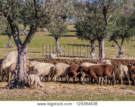 Flock of sheep feeding by the olive trees. Crato, Alto Alentejo, Portugal