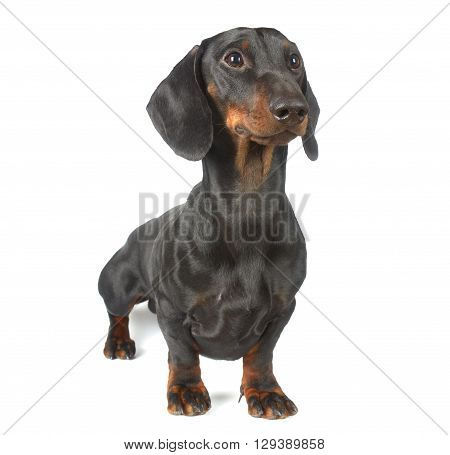 Dachshund junior, 1 year old, portrait on white background