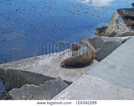 A single California sea lion resting on a rock beside the Coast Guard Pier in Monterey, CA.