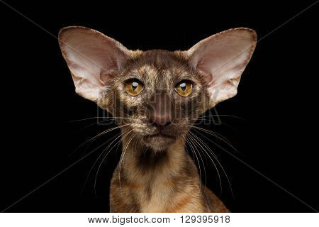 Closeup Portrait of Brown big-eared Oriental Cat Looking in Camera Black Isolated Background