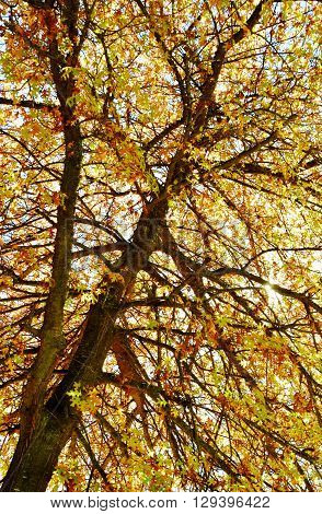 Pin oak with beautiful autumn colors leaves
