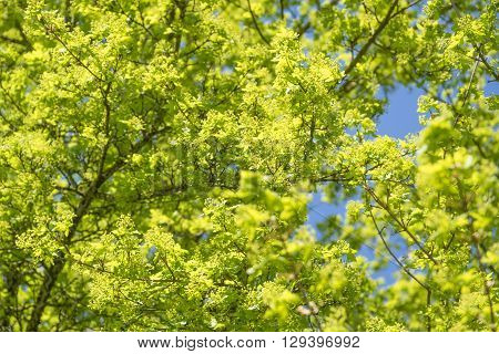 sunny illuminated green tree detail with blossoms and leaves at early spring time