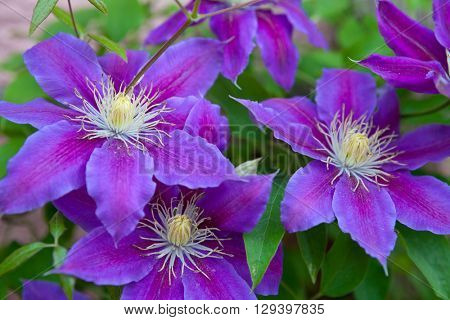 Clematis flower over green background