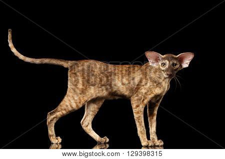 Brown Oriental Cat with Big Ears Standing and Looking in Camera Black Isolated Background