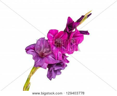 Studio Shot of Indigo and Violet Colored Gladiolus Isolated on White Background. Large Depth of Field (DOF). Macro.