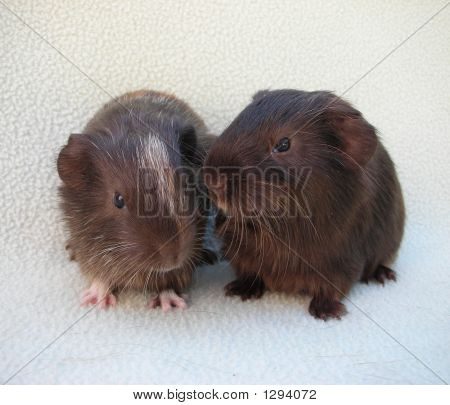 Baby Guinea Pig Pair