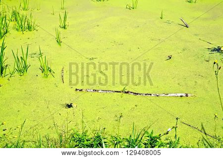The water of a small pond overgrown with green duckweed reeds and grass
