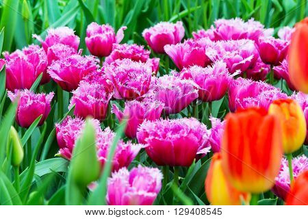 Vibrant colorful  holiday or birthday background with beautiful shaggy edged fuzzy pink tulips flowerbed