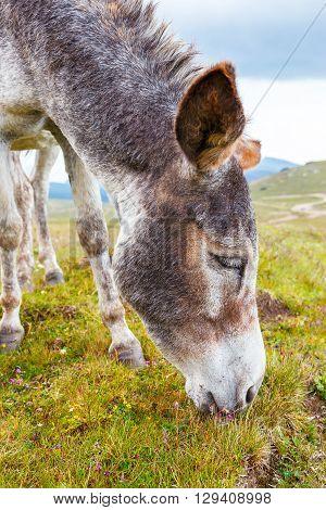 Grey Donkey, Portrait