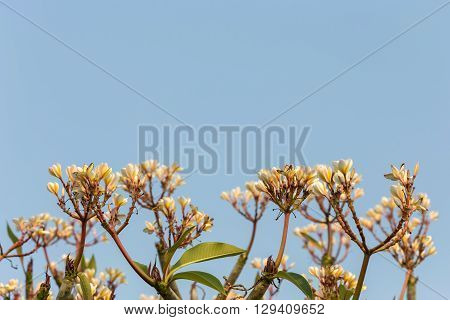 Yellow plumeria flowers on tree with blue sky in thailand.