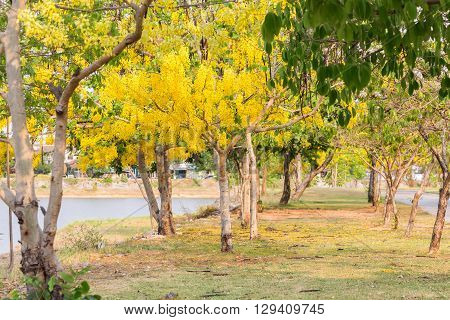 Golden shower(Cassia fistula) tree at lake in Thailand .