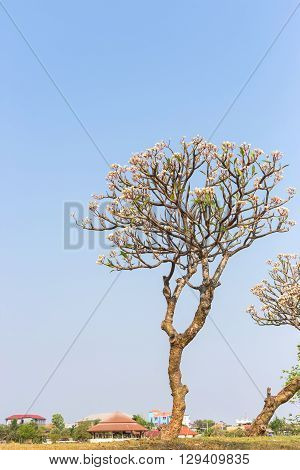 Yellow plumeria flowers on tree with blue sky at public park in thailand.