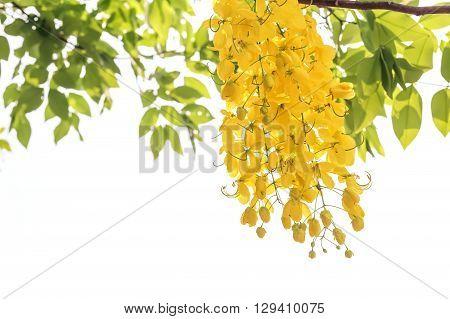 Golden shower(Cassia fistula) in Thailand on white background.