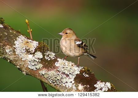 A female Chaffinch on a lichen covered branch