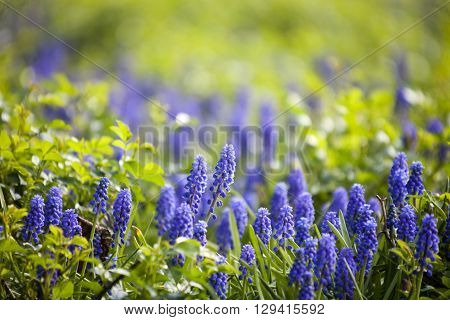muscari - blue spring flowers (murine hyacinth)