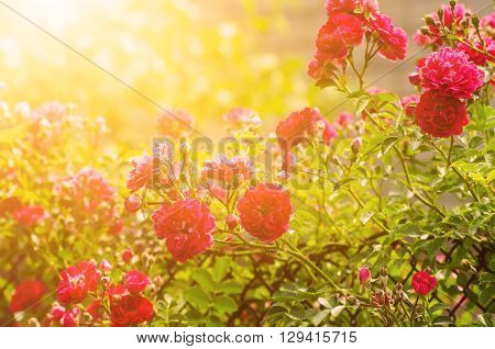 Garden with fresh red roses, floral natural sunny  background