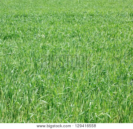 fresh thick grass, background of green grass, summer background