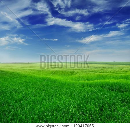 Green wheat in the field