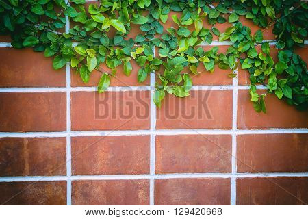 the red brick wall background in vintage scene with the creeping plant