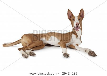 One year old purebred Ibizan Hound (Podenco ibicenco) dog lying in front of white background