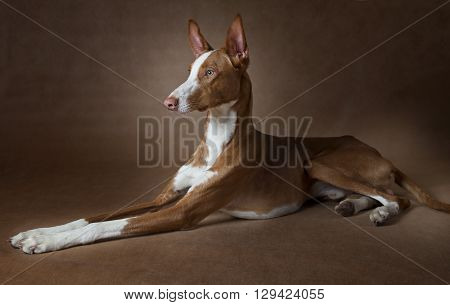 Studio shot of purebred Podenco ibicenco dog lying in front of brown background